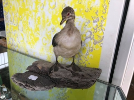 Taxidermy Duck